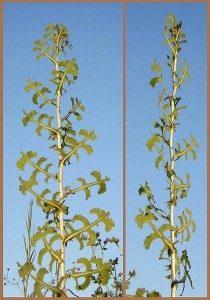 Lactuca Serriola Prickly Lettuce Plant