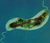 magnetospirillum bacteria