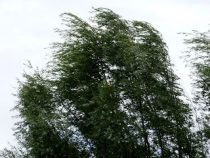 trees blowing in the wind