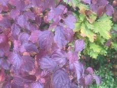Anthocyanin dogwood oak plants