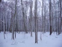 Snow beech trees