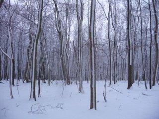 Snow beech trees