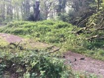 Beech Tree with Fallen Branches across a path
