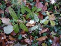 Bird droppings on ivy