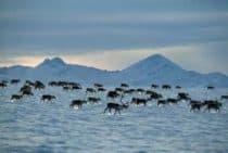 Caribou migration