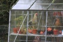 Chickens in the greenhouse