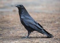 Corvid wisdom raven
