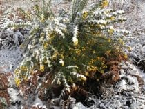 Gorse snow effects of sun snow and wind