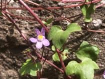 Ivy Leaved Toadflax in flower