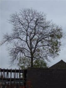 A tree with leaves only on the south side