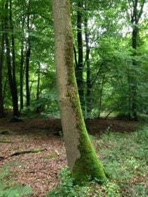 a tree with moss on the north side of it