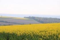 Rape seed on hills