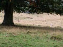 Petworth Park Fallow Deer