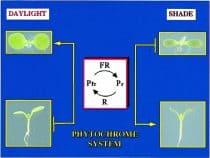 Phytochrome plant response diagram