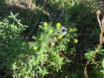 Pineappleweed plant