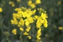 rape flower field