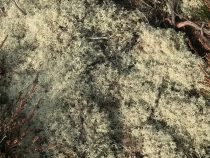 Reindeer Moss on the ground