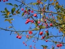 Spindle Tree Flowers