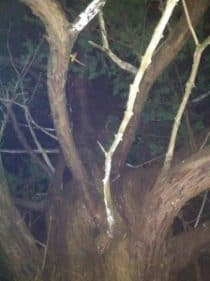 Yew tree in dark woods
