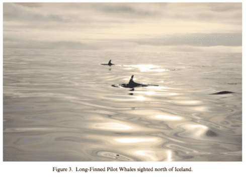 long finned pilot whales sighted north of iceland